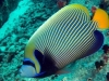 emperor-fish_tony-baskeyfield