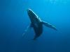 Cétacés baleines