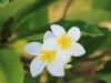 fleurs_frangipaniers02_-_credit_irt_-_emmanuel_virin