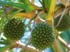 fruits_pinpin_st_philippe_-_credit_irt_-_emmanuel_virin