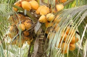 Cocotiers auf Mauritius