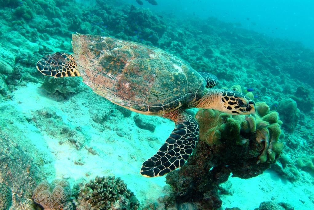 IMG4 Hawkbill Turtle