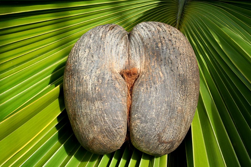 IMG7 Female Coco De Mer Nut