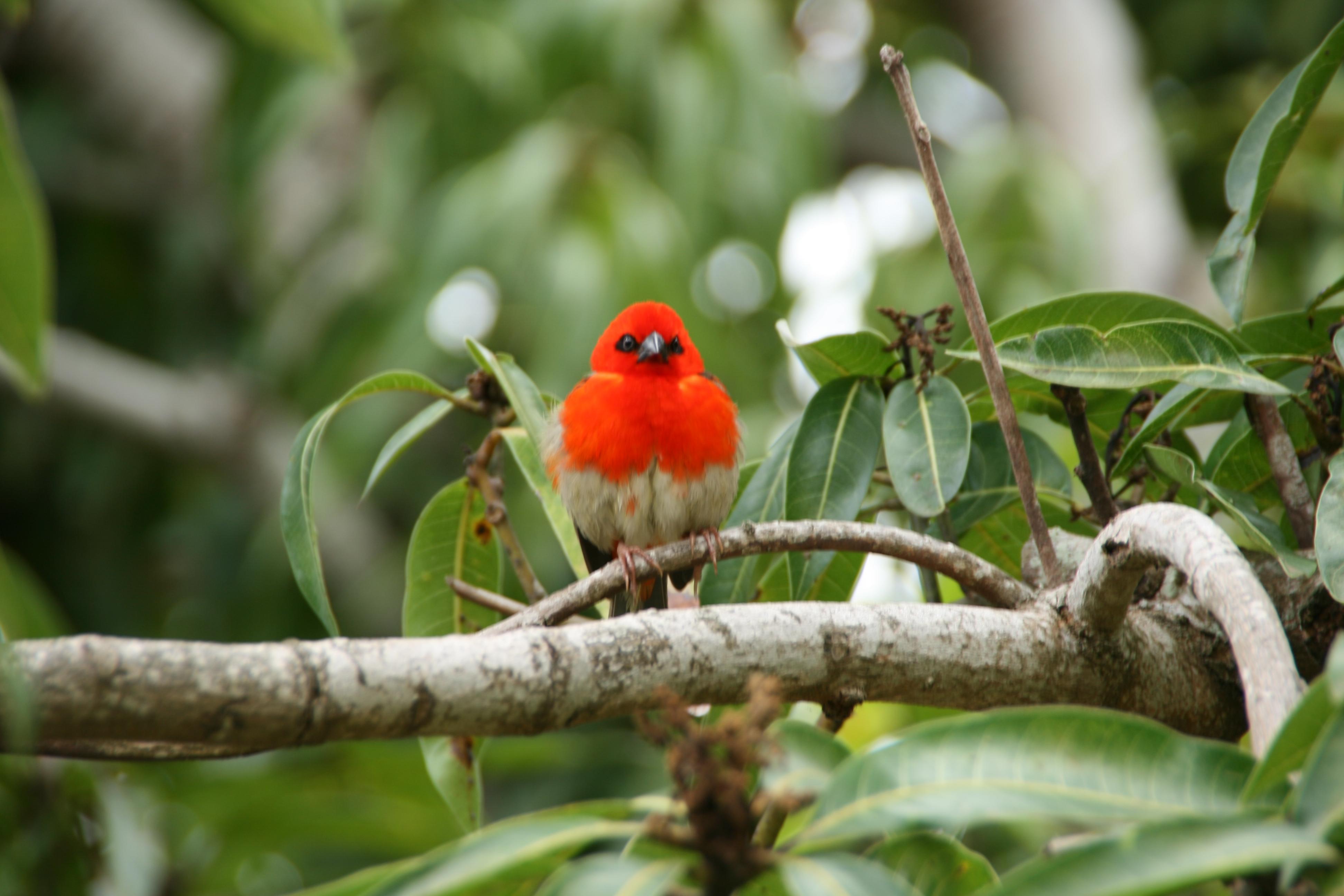 Die männlichen Voegel färben ihre Federn rot