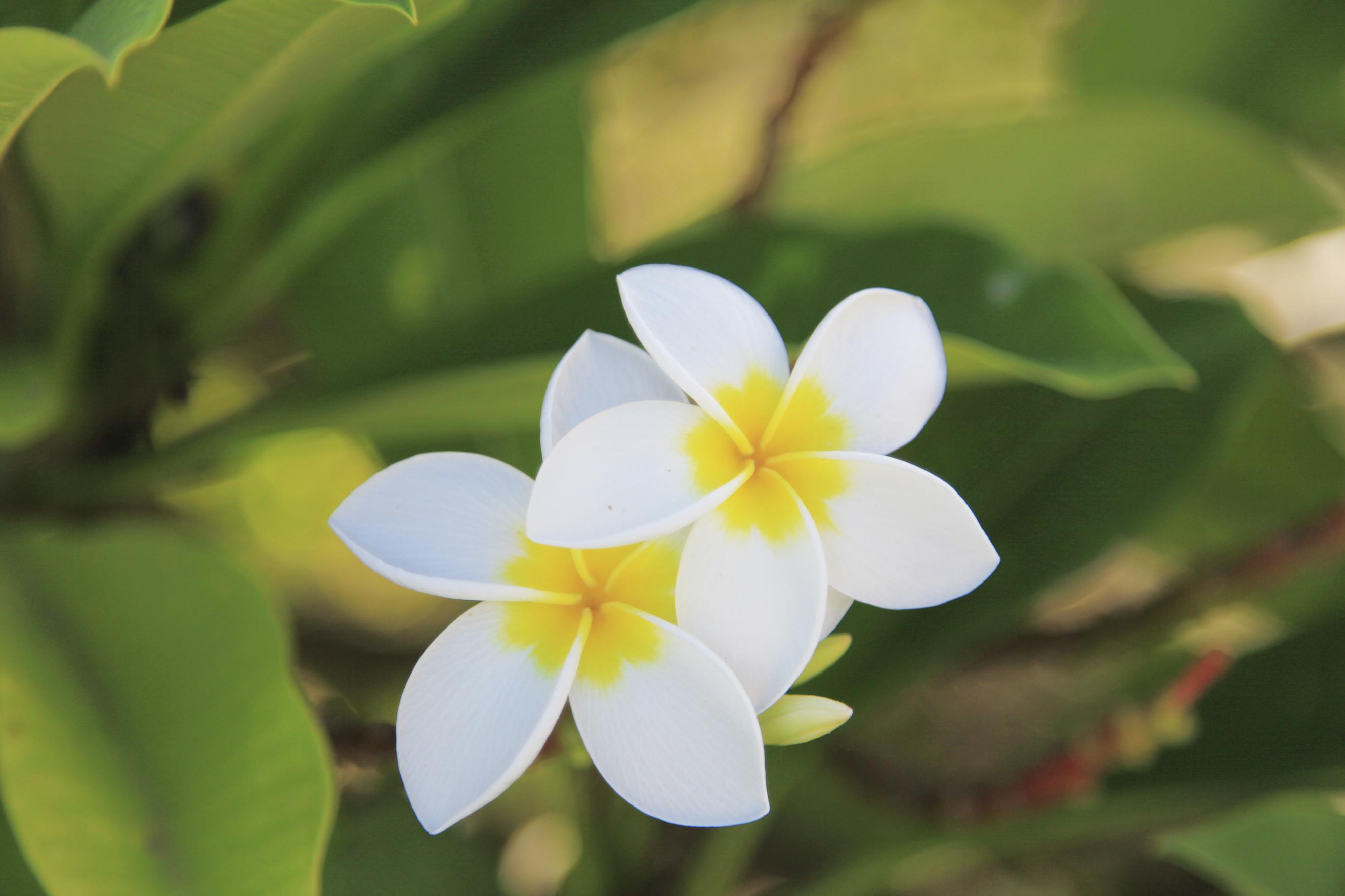 Fleurs Frangipani